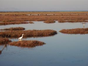 Palo Alto Baylands - Great Egret