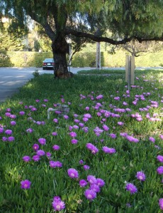 Ice Plants in Bloom, April 2009