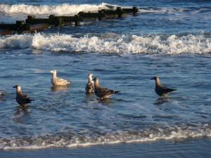 Seagulls at Ocean City, New Jersey, September 2009