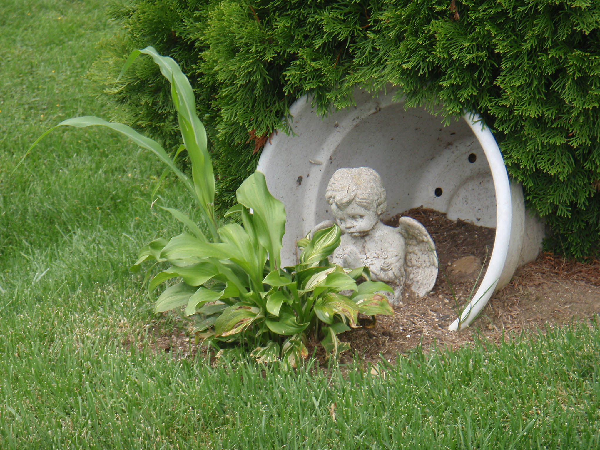In the land of the cute amarez feels like home for Praying angel plant