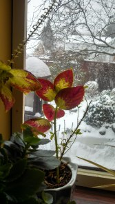 Snow outside, blooming plants inside. View from the sun room, 2014.