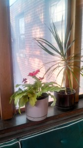 View from the sun room, 2014. The gerbera daily is blooming.